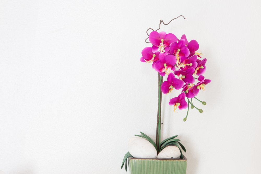 orchidea cattleya