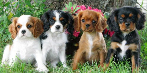 Cuccioli di Cavalier king con i loro mantelli differenti