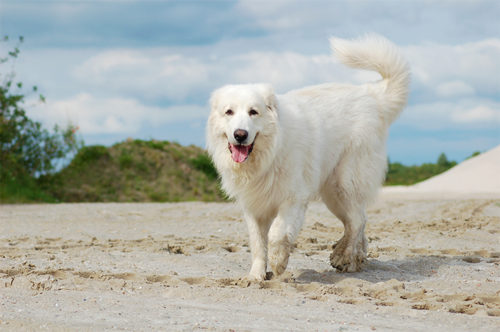 What excellent golden pyrenees adult weight