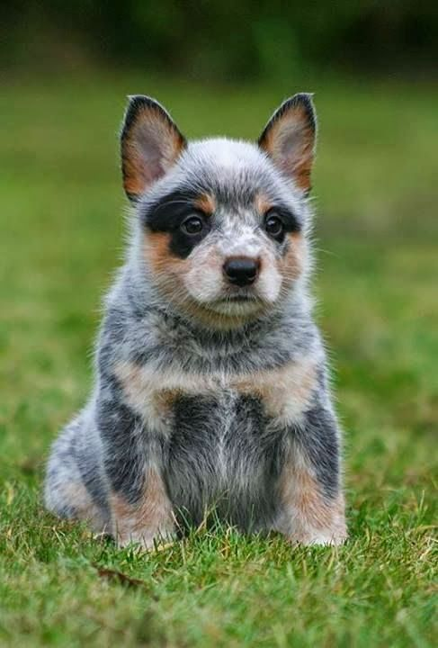 Australian cattle dog cucciolo