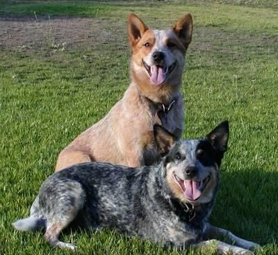 Australian cattle dog cure