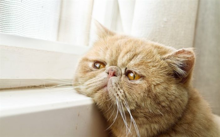 Exotic Shorthair carattere