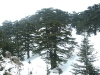 cedars-of-god-lebanon