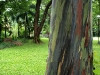 Ecco l'eucalyptus arcobaleno