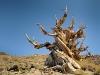 Matusalemme, un antichissimo pino bristlecone