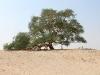 Tree of life, un albero che vive nel deserto del Bahrain