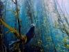 foca marina