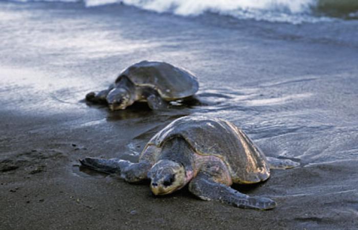tartarughe da salvare in costarica