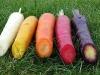 carote viola, bianche e rosse