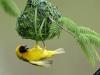 I nidi dell'uccello tessitore