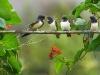 Fauna selvatica in giardino: Piccoli di rondine. Fotografia: Alan Price