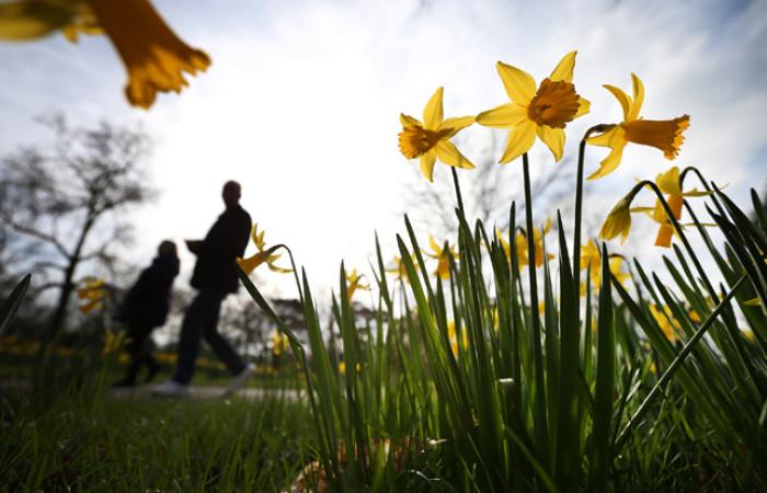 narcisi gialli fioriscono a primavera