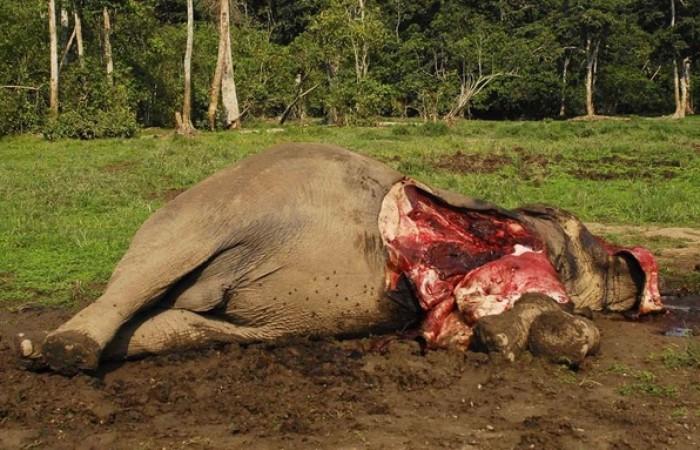 Un elefante massacrato per le sue zanne