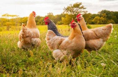 I vantaggi (non solo economici) di allevare una gallina domestica: tutti i perché di una nuova moda d'oltralpe