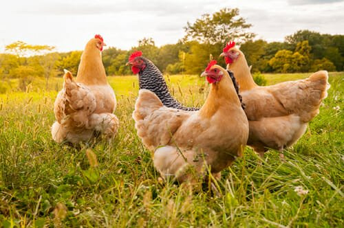 come allevare una gallina domestica