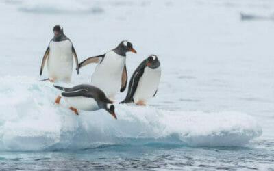 Il rapace che ruba la videocamera e filma la colonia di pinguini