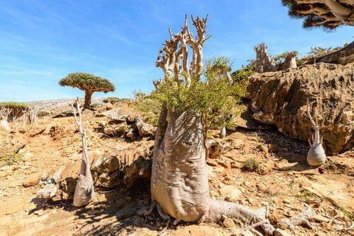 alberi di Socotra