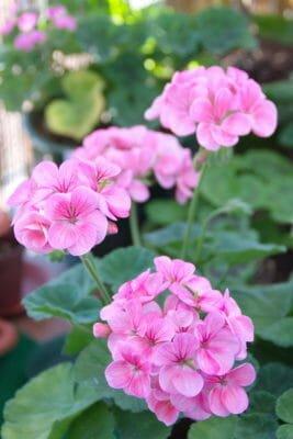 fiori da balcone gerani