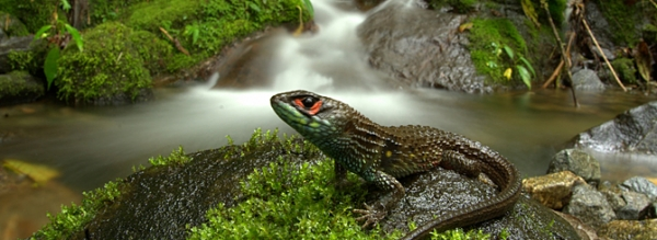pictured-is-a-new-species-of-stream-living-lizard-discovered-in-manu-national-park