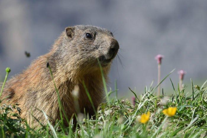 Parco Nazionale dello Stelvio: una marmotta