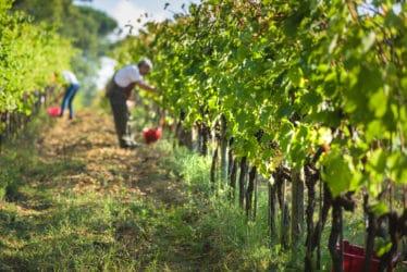 vino biodinamico e biologico