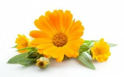 Calendula officinalis proprietà: scopriamo l'olio e le creme derivanti dai fiori di questa pianta