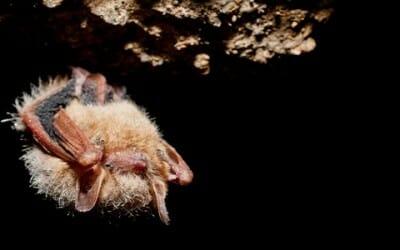 Pipistrelli a rischio: 7 milioni morti per la sindrome da ibernazione