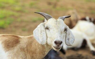 Latte di capra proprietà e prodotti consigliati