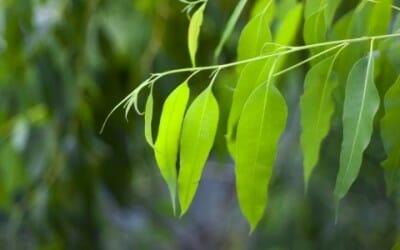 Eucalipto: benefici e proprietà di questa pianta