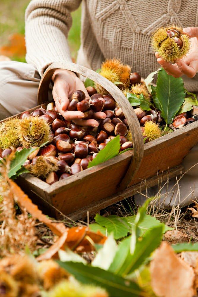 Photo of Come raccogliere le castagne in maniera sostenibile