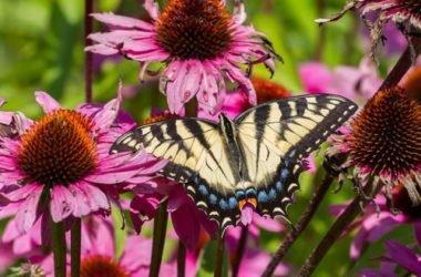 Echinacea: proprietà, utilizzi e controindicazioni