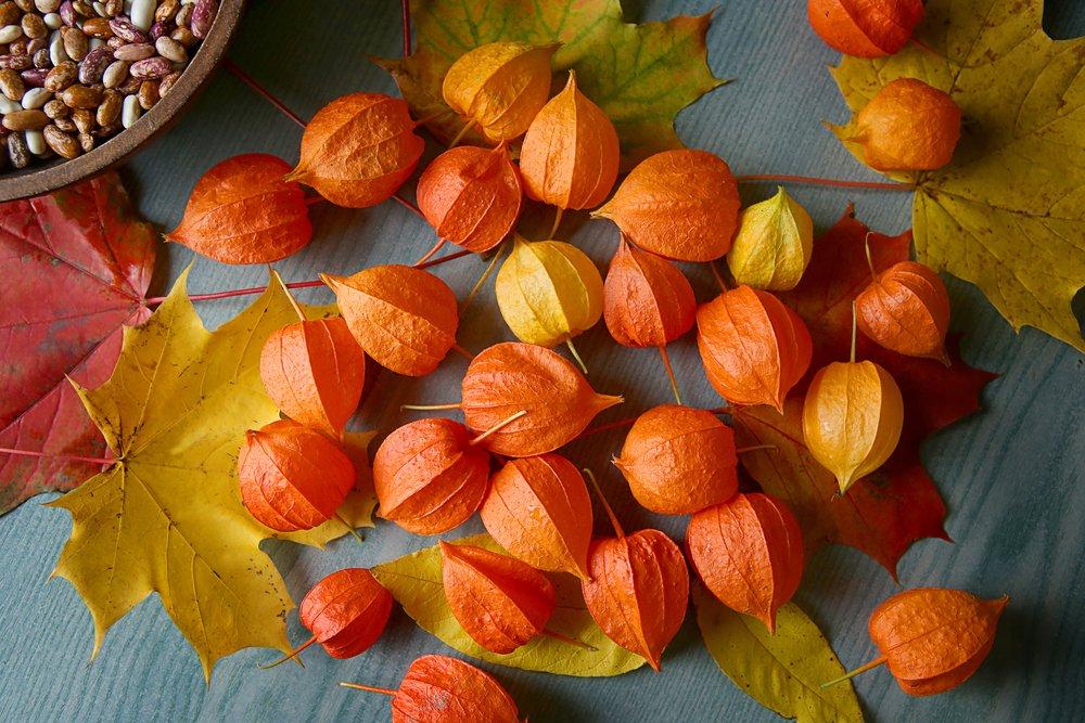 Photo of Proprietà, benefici e ricette dell'alchechengi, i cui frutti sono noti anche come lanterne cinesi