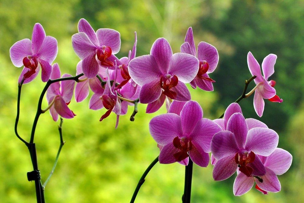Orchidea variet cura terreno temperatura e luce for Orchidea pianta