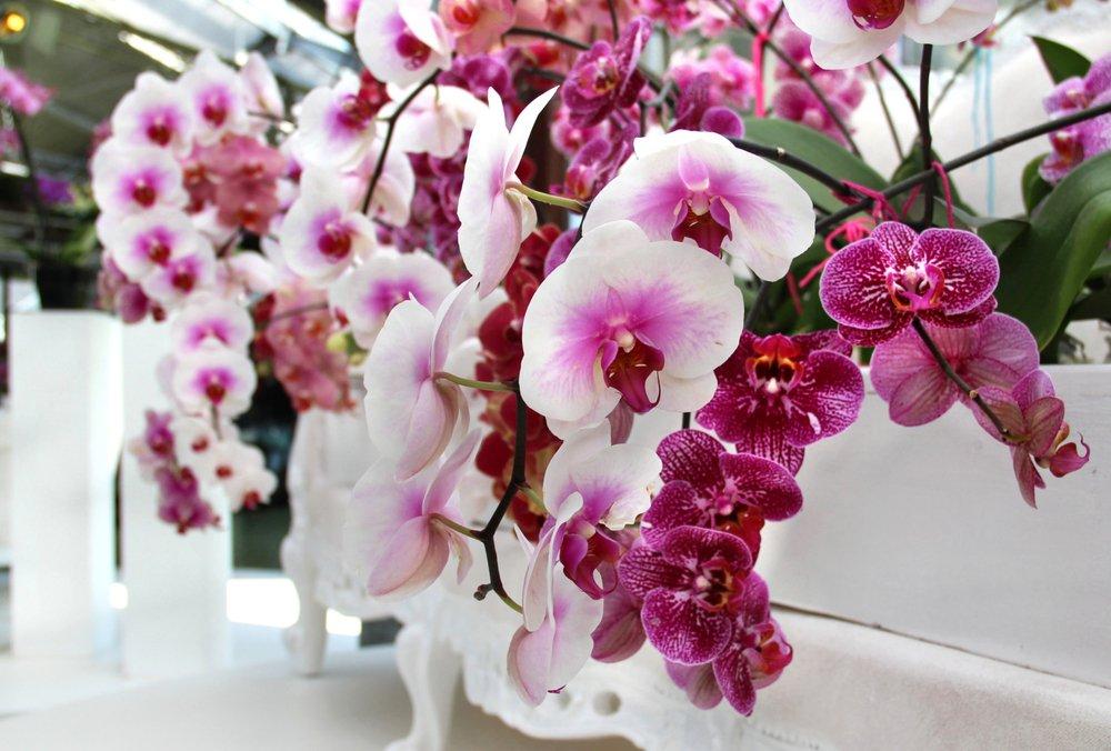 Orchidea variet cura terreno temperatura e luce - Come curare un orchidea in casa ...