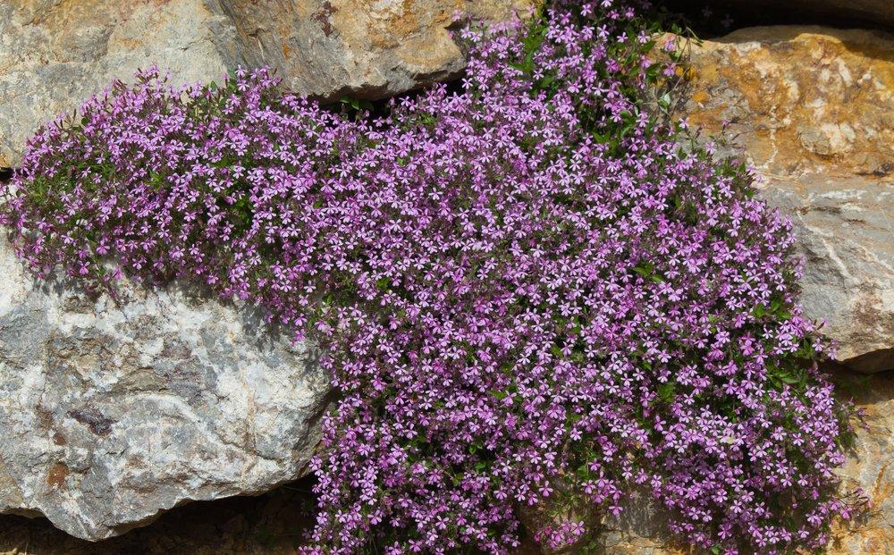 Photo of Guida alla saponaria, una pianta perenne spontanea