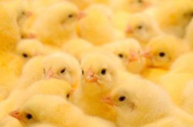 In Gran Bretagna nessuno vuole selezionare pulcini