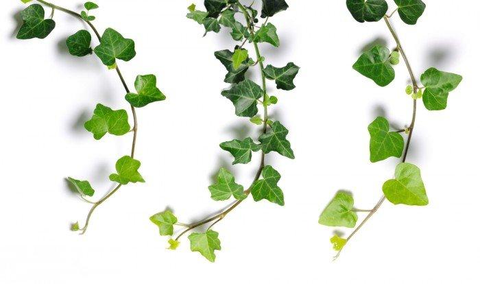 Photo of Contro i parassiti delle piante, l'infuso di edera