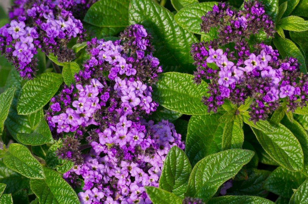 Le piante da balcone le variet pi adatte tuttogreen for Piante sempreverdi con fiori