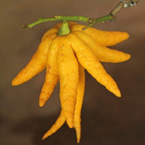 Cedro: proprietà, benefici e utilizzi di un agrume particolare ...