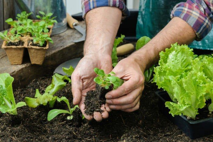 Come coltivare insalata in casa