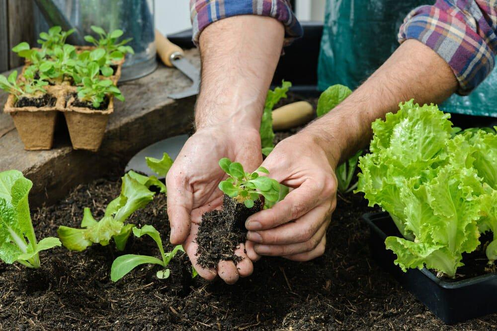 Photo of Scopri come coltivare insalata in casa con la nostra guida pratica!