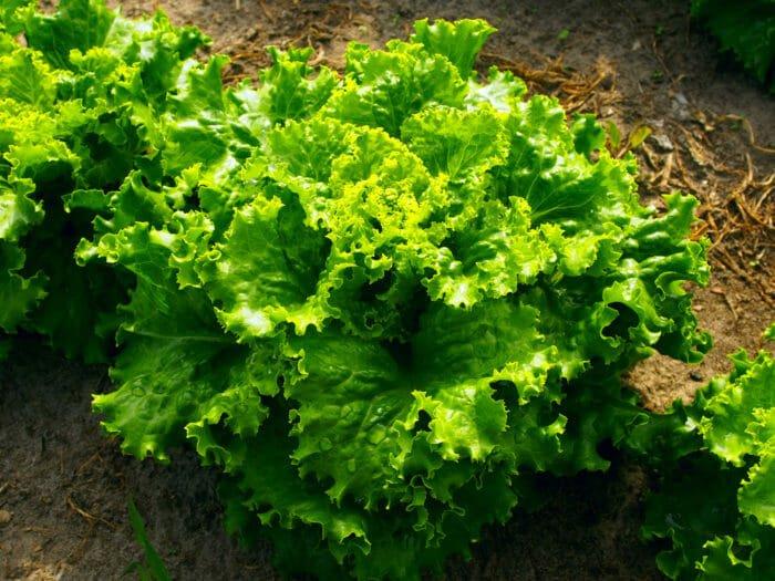 come coltivare insalata
