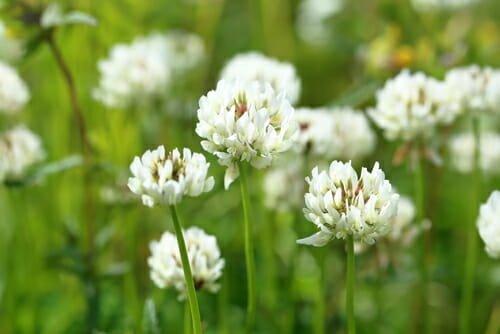 trifoglio bianco piante infestanti