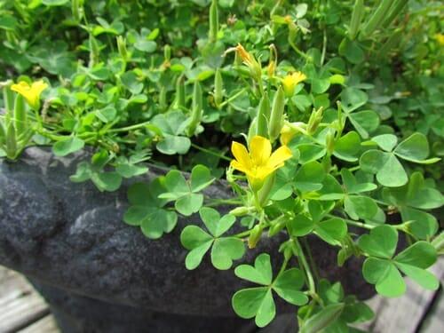 piante infestanti acetosella