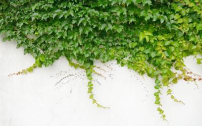 Scopriamo le proprietà dell'edera e come utilizzare questa pianta come rimedio naturale