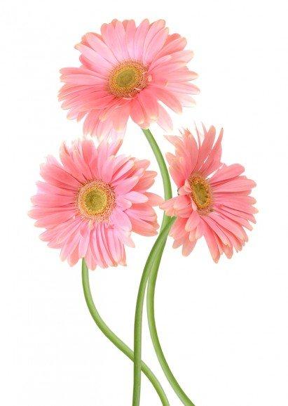 Significato dei fiori un fiore per ogni emozione tuttogreen for Fiori gerbere