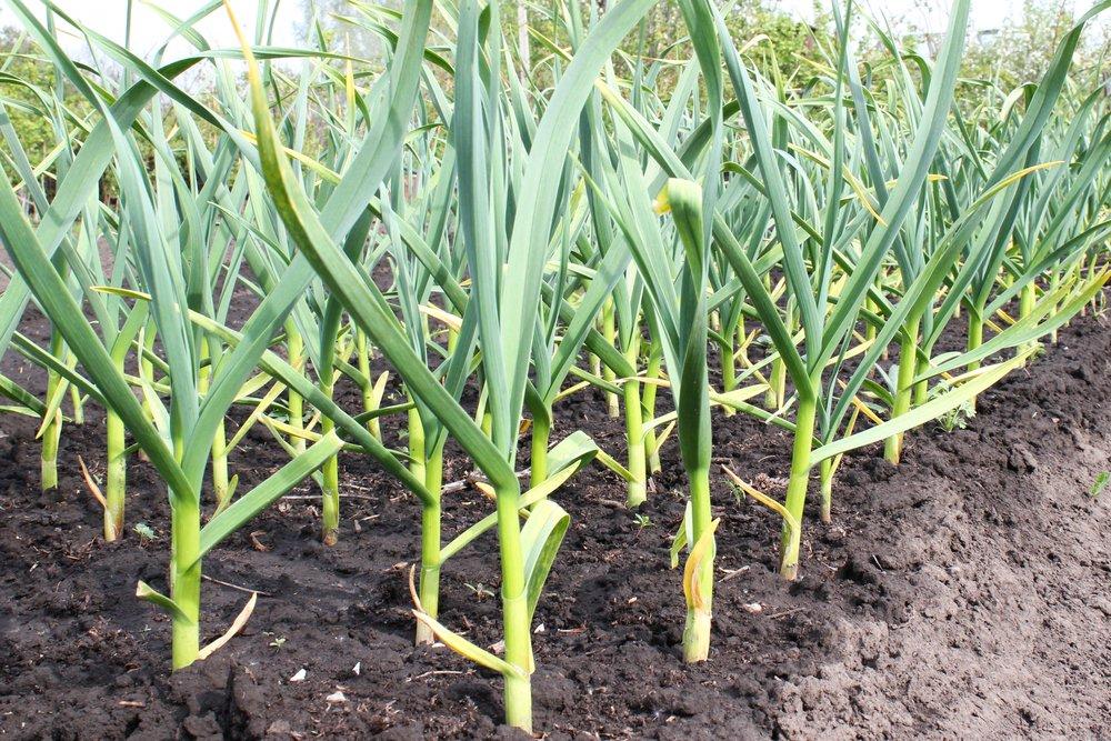 Come coltivare l 39 aglio in vaso o giardino la guida per for Aglio pianta