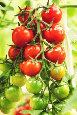 proprietà del pomodoro
