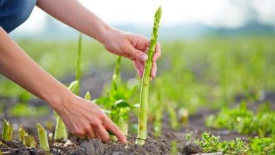 Photo of Come coltivare gli asparagi in modo facile