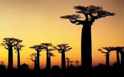 Baobab: proprietà di questo nuovo superfood